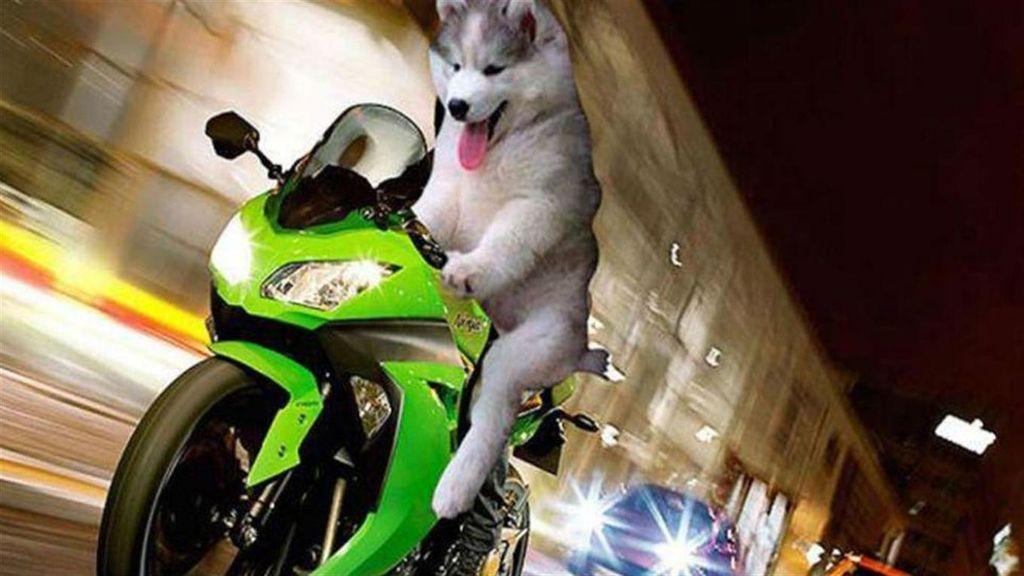 El Husky que se ha convertido en el rey de internet