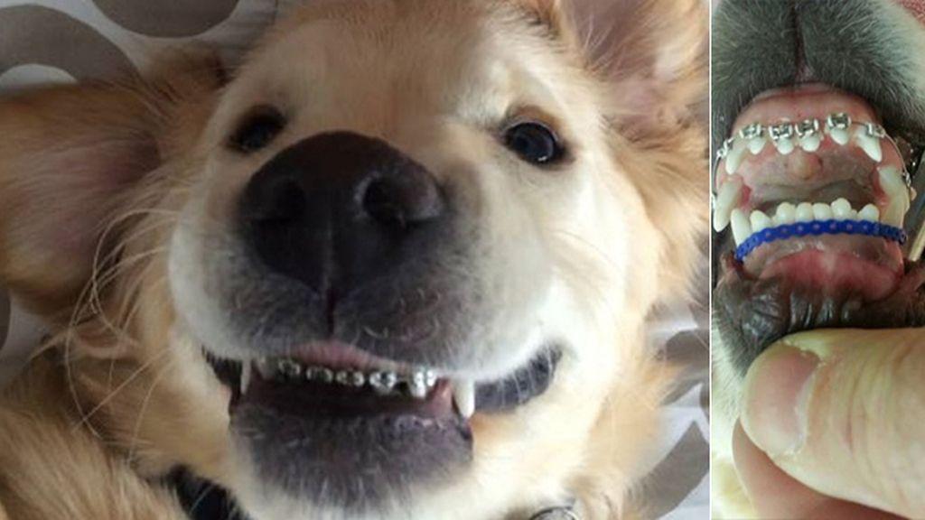 La nueva moda de los brackets para perros