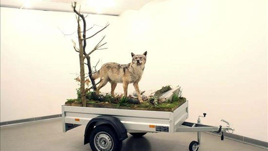 """Un lobo disecado, montado sobre un remolque, es uno de los llamados """"Mobile Wilderness Units"""" (unidades móviles de la vida salvaje), con los que el estadounidense Mark Dion critica la tendencia a convertir la naturaleza en una mercancía más, que forma parte de la exposición """"Naturaleza Radical"""" que podrá verse en el centro Barbican de Londres. EFE/Georg Cargl fine arts Viena"""