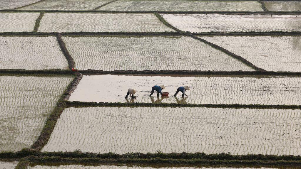 Plantación de arroz en Vietnam