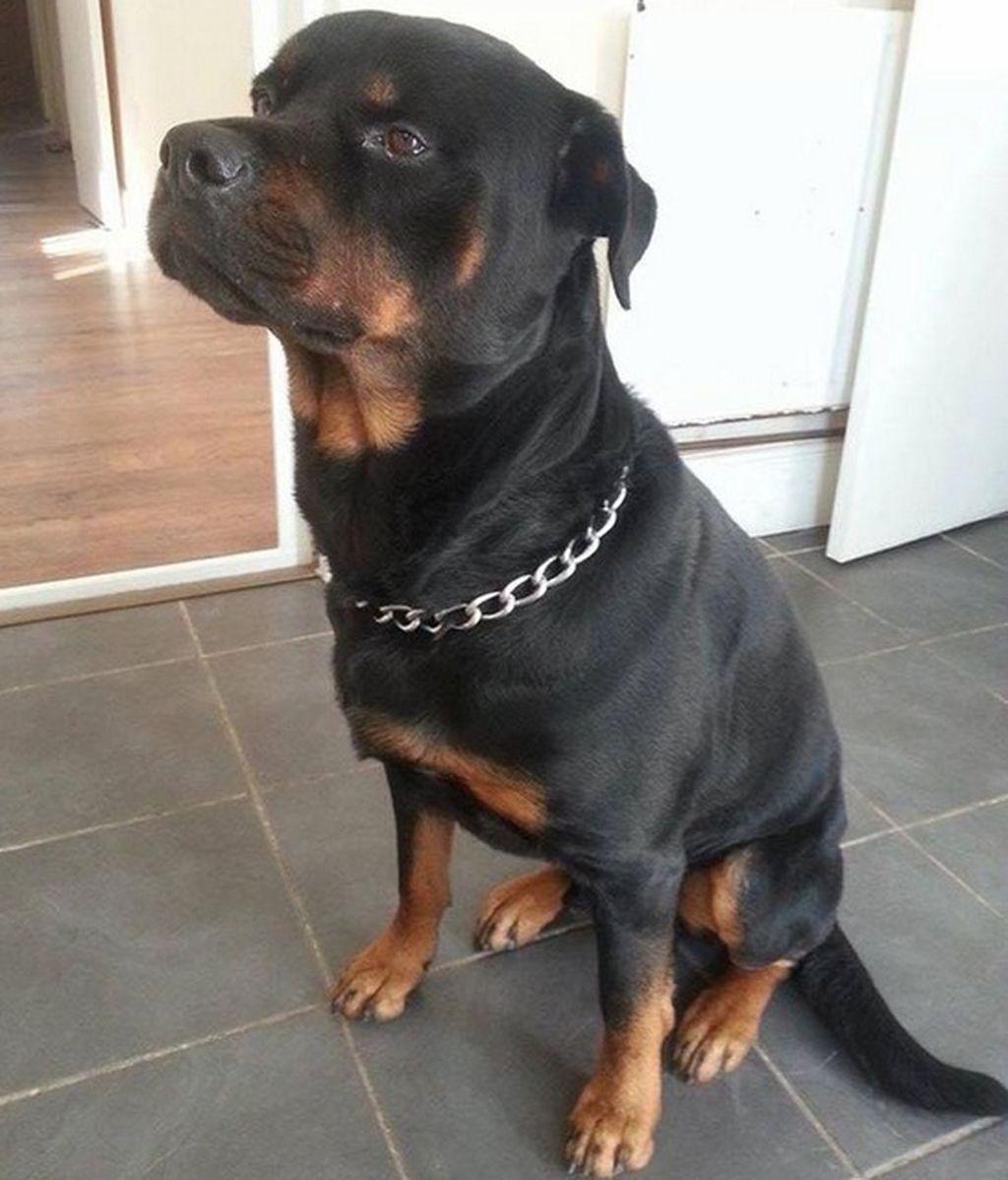 Rocky, el perro heroico que salvó a su dueña embarazada de un grupo de matones armados