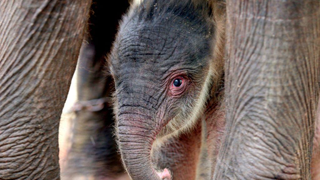 Nace un cachorro de elefante de Sumatra en Indonesia