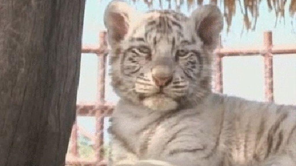 Tres cachorros de tigre de Bengala blanco nacen en México