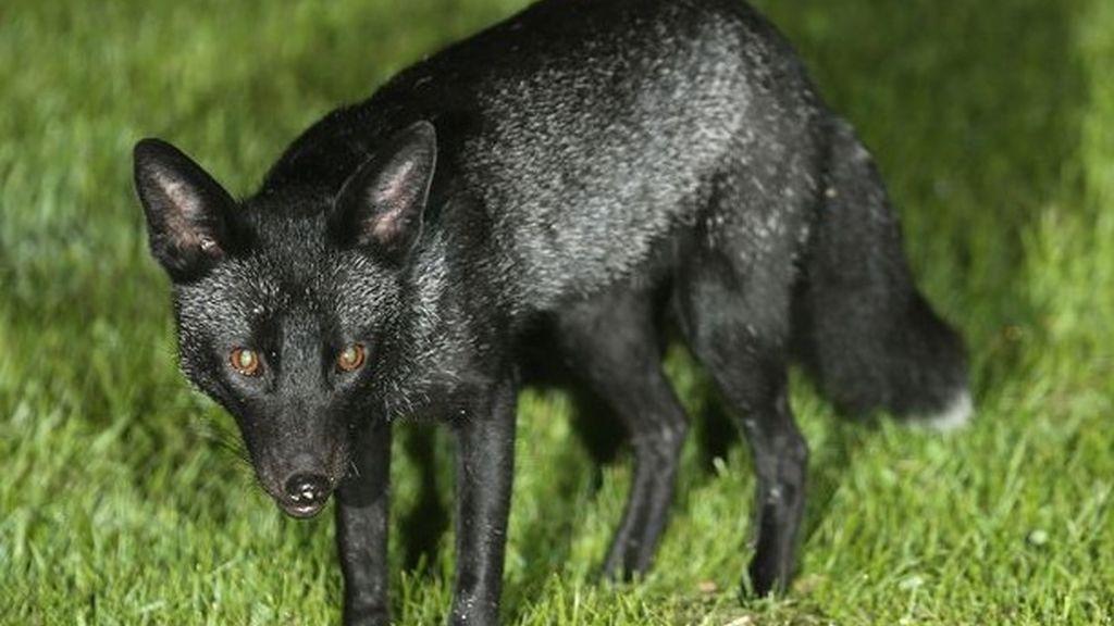 Se consigue fotografiar a un extraño zorro negro