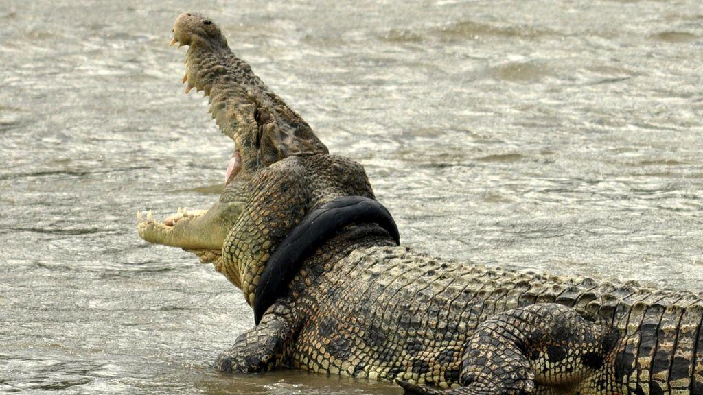 Un cocodrilo sufre con un neumático usado que le oprime el cuello