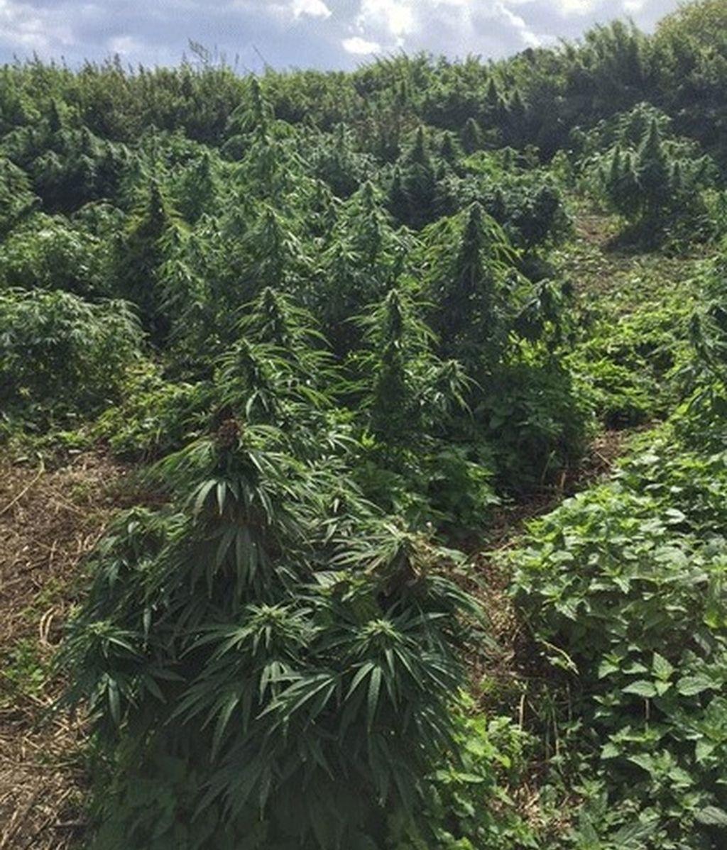 Hallan un bosque de cannabis en el sudoeste de Londres