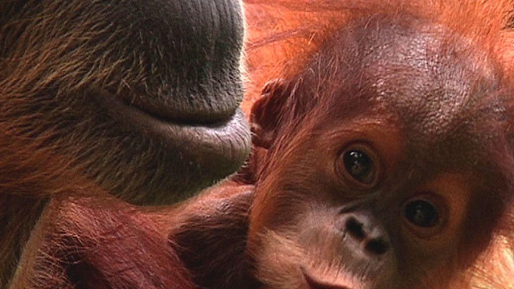 Enternecedora instantánea de un pequeño orangután con su madre