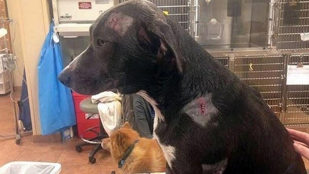 Un perro recibe dos balazos tras defender la casa de su dueño de un robo