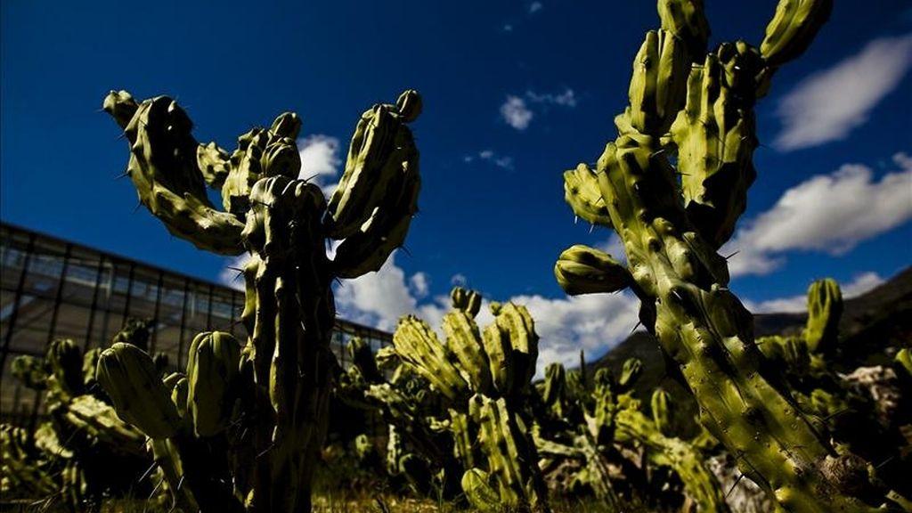 Especies en peligro de extinción de tres continentes, en concreto de la zonas de Madagascar, Península Arábiga y México, forman parte de la colección más amplia de cactus de Europa ubicada en el Museo-Jardín Botánico de Cactus y otras Plantas Suculentas de Casarabonela (Málaga). EFE