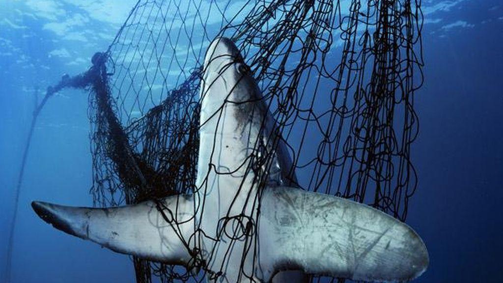 Tiburón atrapado