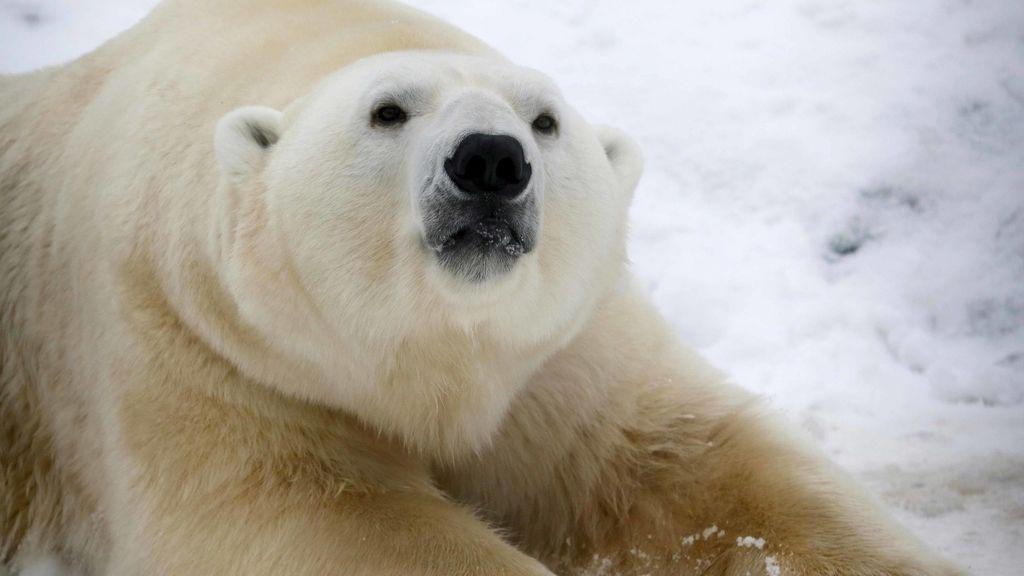 Un oso polar