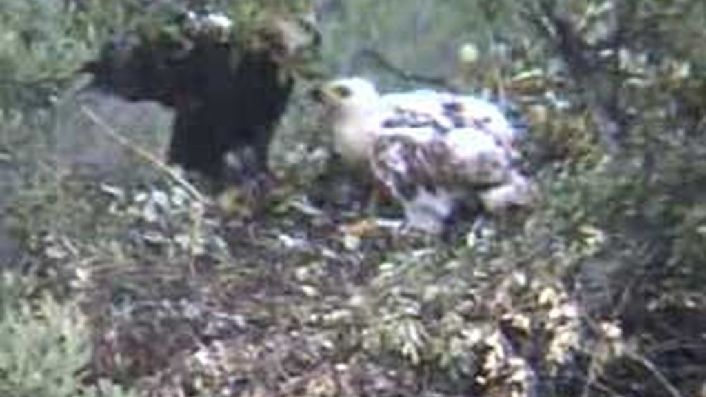 Los internautas han podido seguir el crecimiento de Altair através de una webcam.