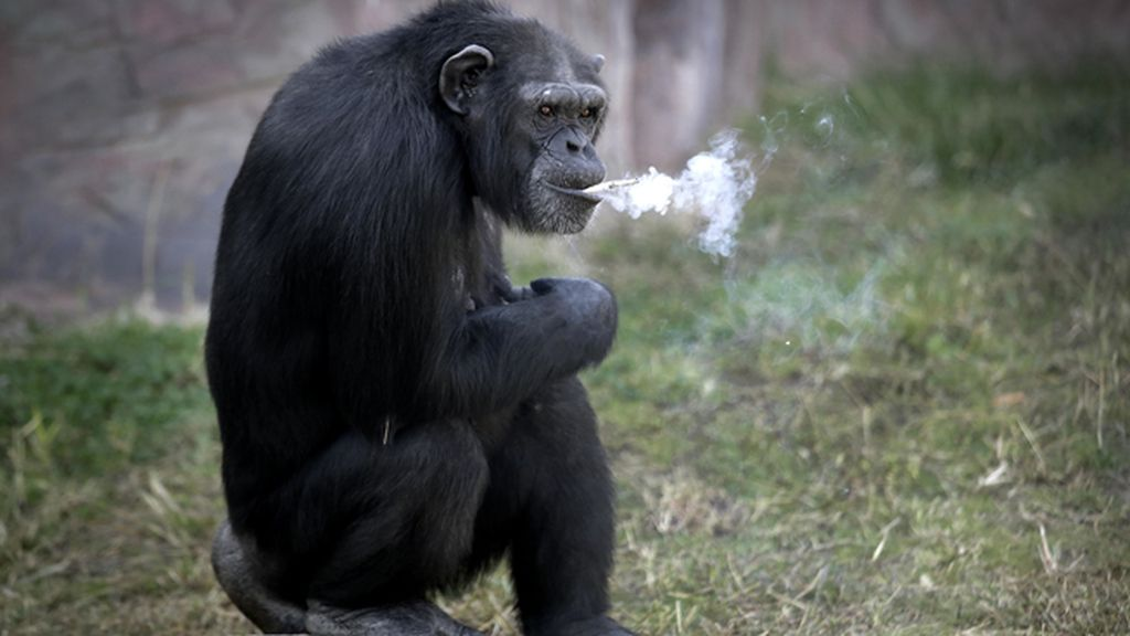 Azalea, el chimpancé del zoo de Corea del Norte que fuma un paquete al día