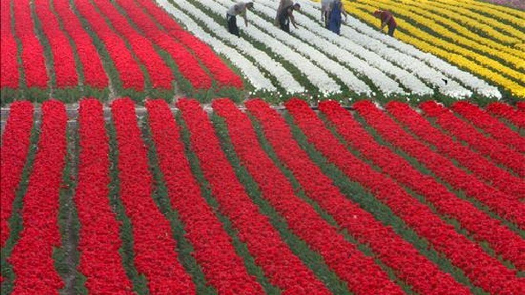 Varios trabajadores seleccionan tulipanes en una plantación cerca de Schwaneberg (Alemania). En el cultivo de flores se utiliza pesticidas para un rápido crecimiento y floración. Según un estudio, la larga exposición a pesticidas podría estar relacionada con la demencia. EFE/Archivo