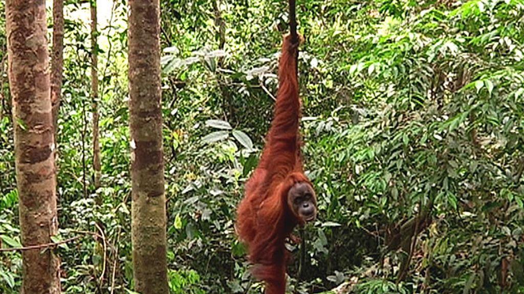 Un orangután colgado de un árbol