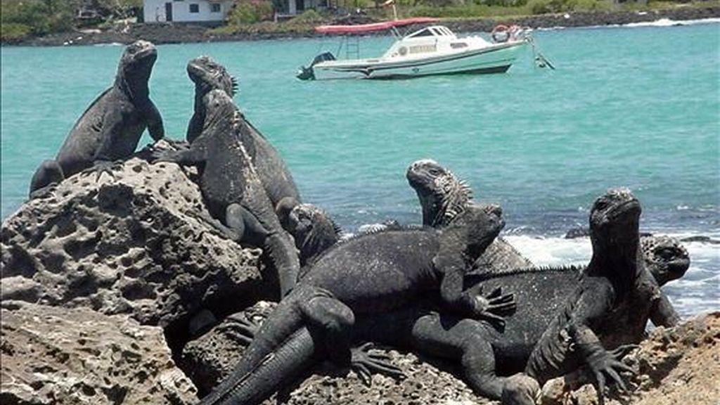 En la imagen un grupo de iguanas en las  Islas Galápagos. EFE/Archivo