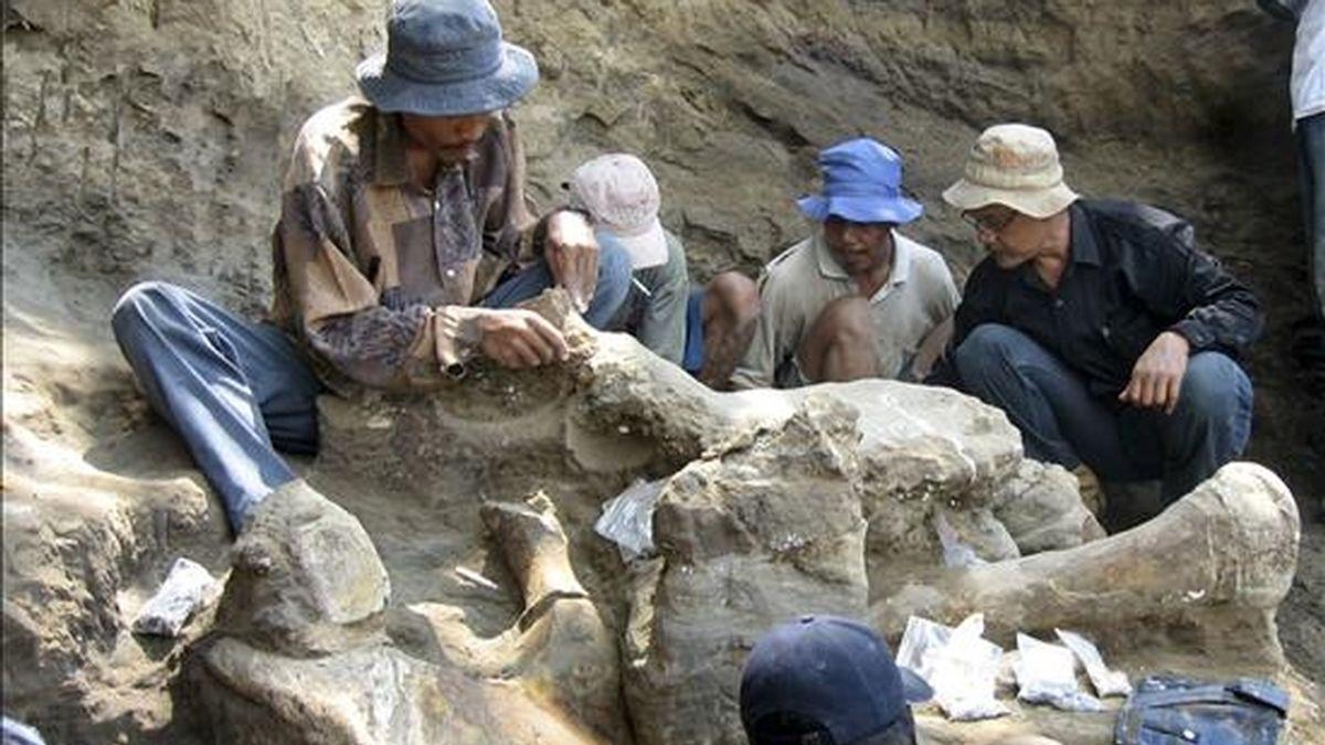 El esqueleto de un elefante gigante de hace 200.000 años, la osamenta más completa jamás encontrada en Indonesia, ha sido hallado en la isla de Java. EFE/Universidad de Woolongong