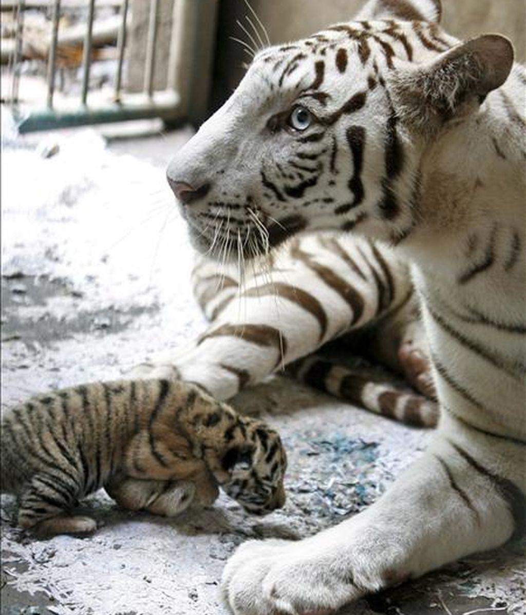 Una tigresa de Bengala reposa junto a su cachorro. EFE/Archivo