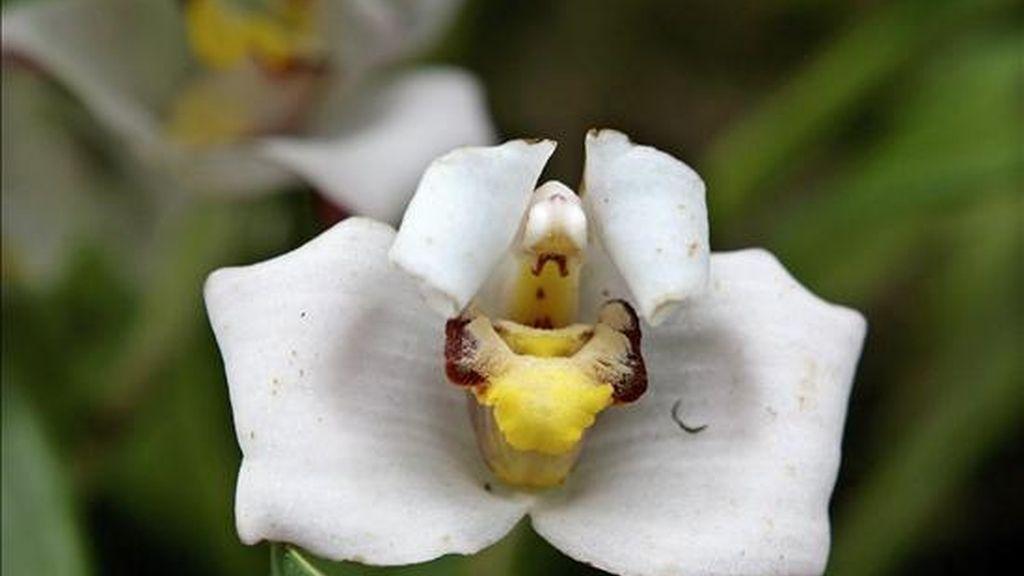 """El Centro Cultural Itchimbía de Quito (Ecuador) abrió sus puertas a la """"Expo Universal de Orquídeas"""", donde hasta el próximo 8 de febrero estarán expuestas más de setecientas especies nativas de orquídeas ecuatorianas. EFE"""