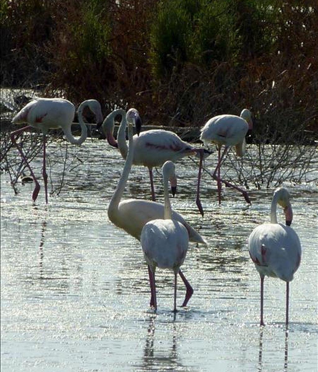 Varios flamencos en la Laguna de Navaseca localizada a pocos kilómetros del Parque Nacional de Las Tablas de Daimiel (Ciudad Real). EFE