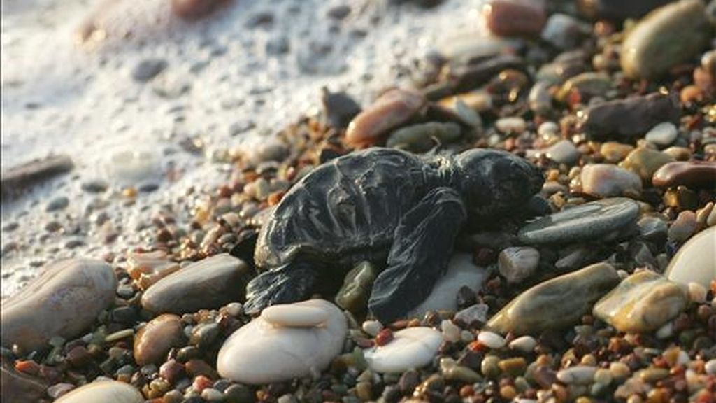 Una cría de tortuga boba (Caretta caretta) en una playa del golfo de Kyparissia (Grecia). EFE/Archivo