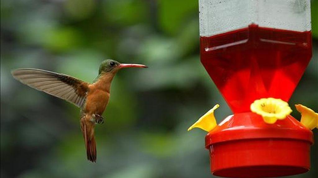 En la imagen, un colibrí criado en cautiverio. Científicos hondureños y estadounidenses confirmaron la existencia en el occidente de Honduras de una nueva población del colibrí Esmeralda. EFE/Archivo