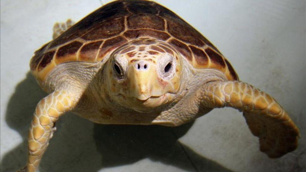 El Oceanogràfic de la Ciudad de las Artes y las Ciencias presentó los primeros resultados de un programa pionero para la estimulación ovárica en tortugas en peligro de extinción. EFE