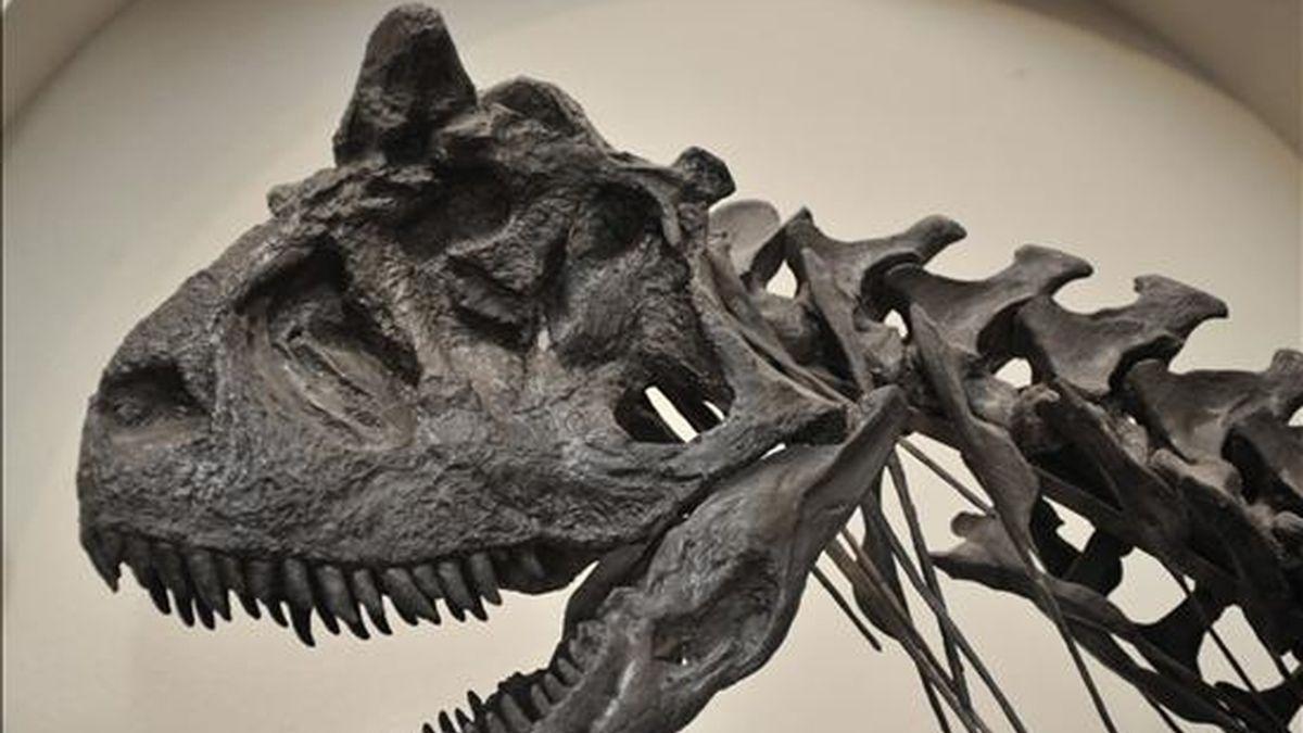 Los cráneos habían sido valorados inicialmente en unos 100.000 dólares cada uno, pero consiguieron doblar su precio de salida en una puja de fósiles que organizó la firma Bonhams. EFE/Archivo