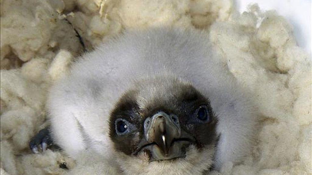 Cinco pollos de quebrantahuesos, ave rapaz carroñera, que está declarada en peligro crítico de extinción, han nacido esta temporada en el centro de cría en cautividad de Guadelentín, ubicado en el Parque Natural de Cazorla, Segura y las Villas (Jaén). EFE