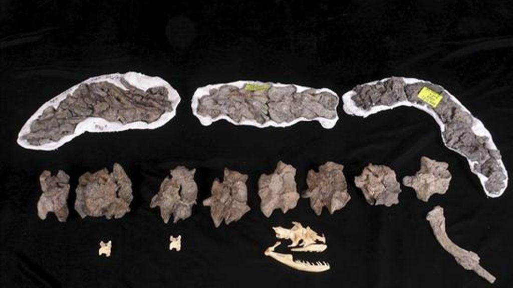 """Vértebras y costillas de la """"Titanoboa Cerrejonensis"""", la serpiente gigante  descubierta en el norte de Colombia que vivió hace 60 millones de años. EFE"""