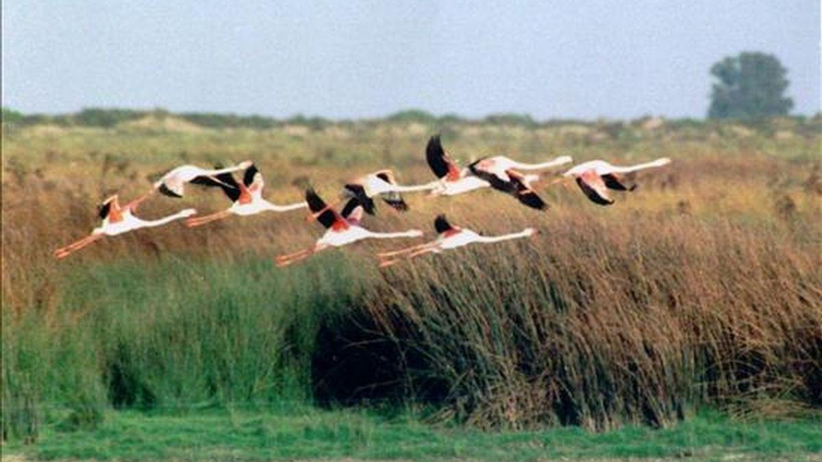 Flamencos vuelan en las marismas de Doñana, afectadas en parte por la contaminación de aguas residuales. EFE/Archivo