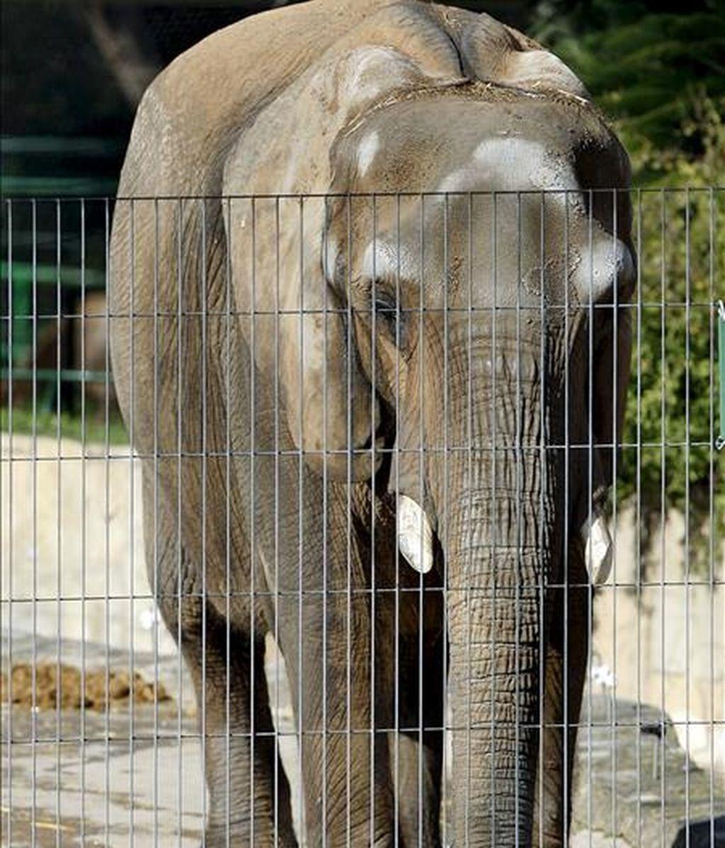 En la imagen, la elefanta Susi, del zoo de Barcelona. EFE/Archivo