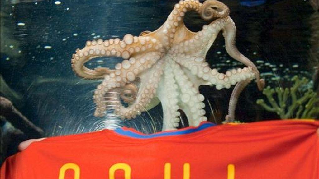 El famoso pulpo Paul, oráculo de los resultados del Mundial de fútbol de Sudáfrica 2010, nada sobre una camiseta de la equipación de España que lleva su nombre, en el centro marino Sea Life de Oberhausen (Alemania). EFE/Archivo