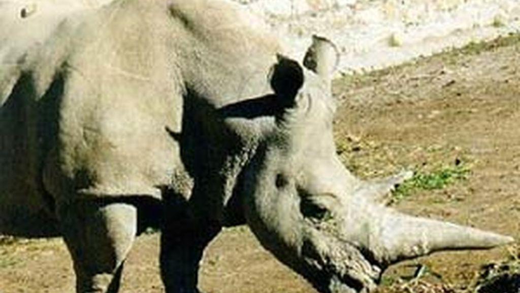 Los rinocerontes blancos son cazados para hacerse con el cuerno.