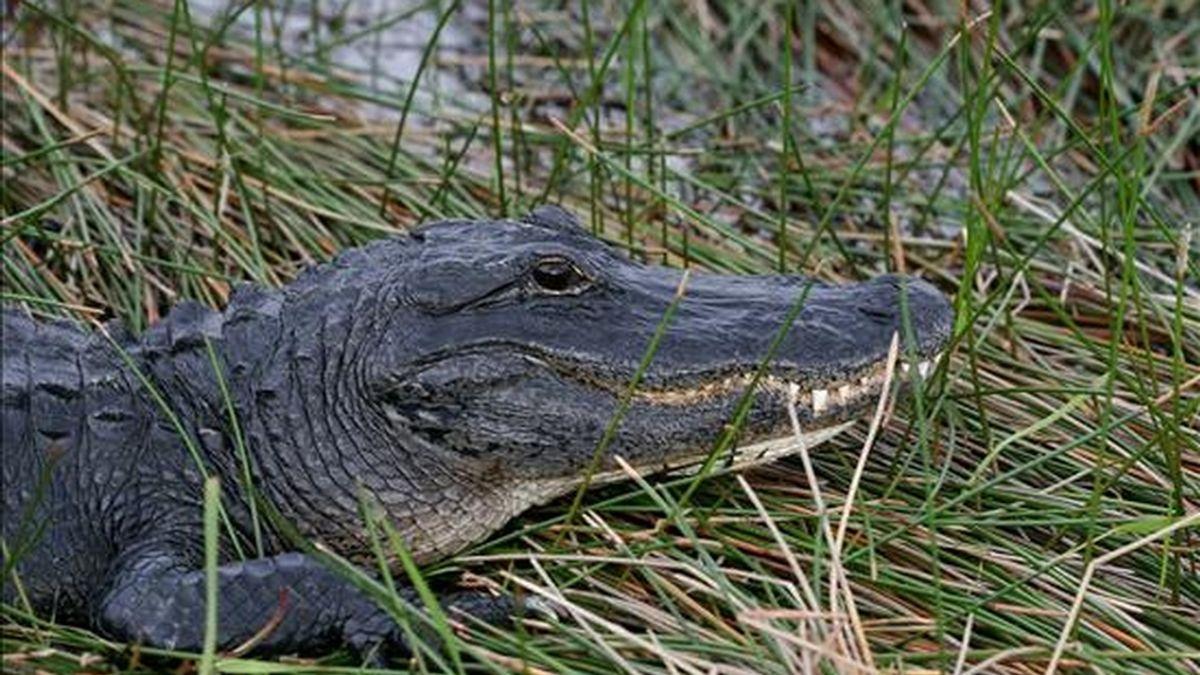 Los reptiles han puesto en peligro a los pescadores de la zona, dijo el inspector de la población, Ferney Ochoa, en una entrevista con la cadena bogotana Caracol Radio. EFE/Archivo