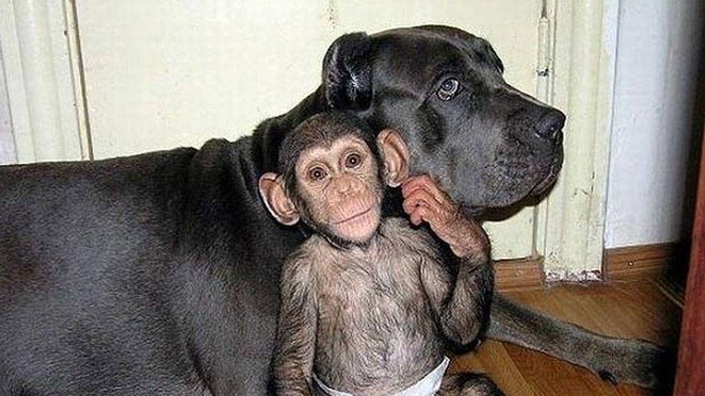 Un chimpancé bebé adoptado por una familia de perros