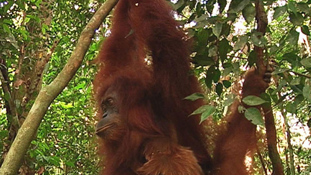 Un gran orangután