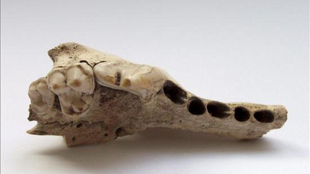 Fotografía facilitada por la universidad de Tübingen de un hueso de un perro descubierto en Suiza en 1873. EFE