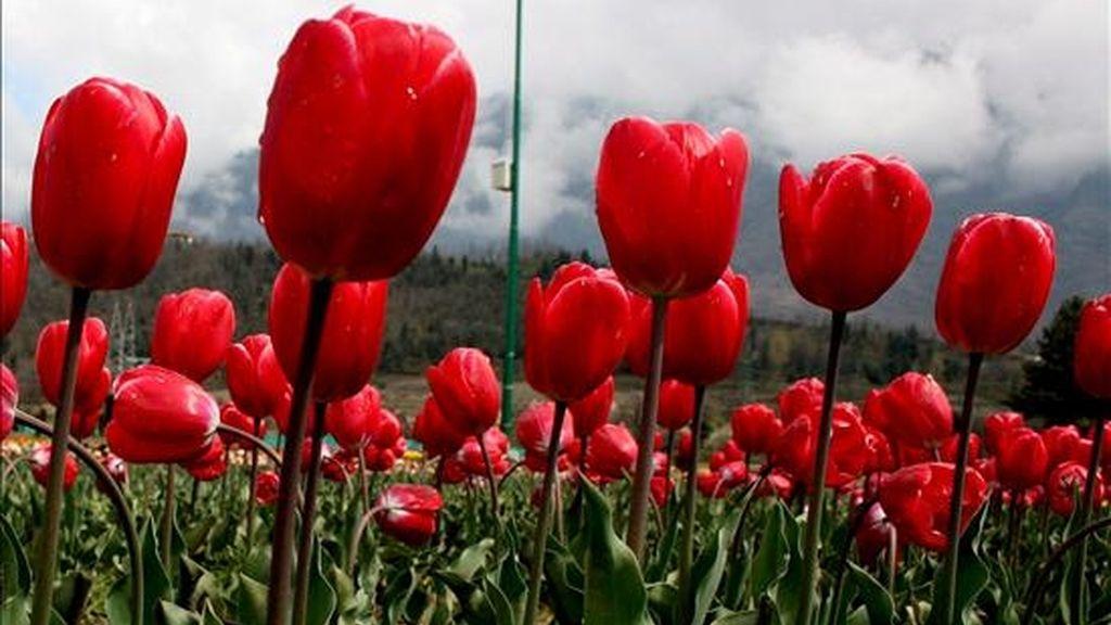 Tulipanes florecen en un jardín. EFE/Archivo