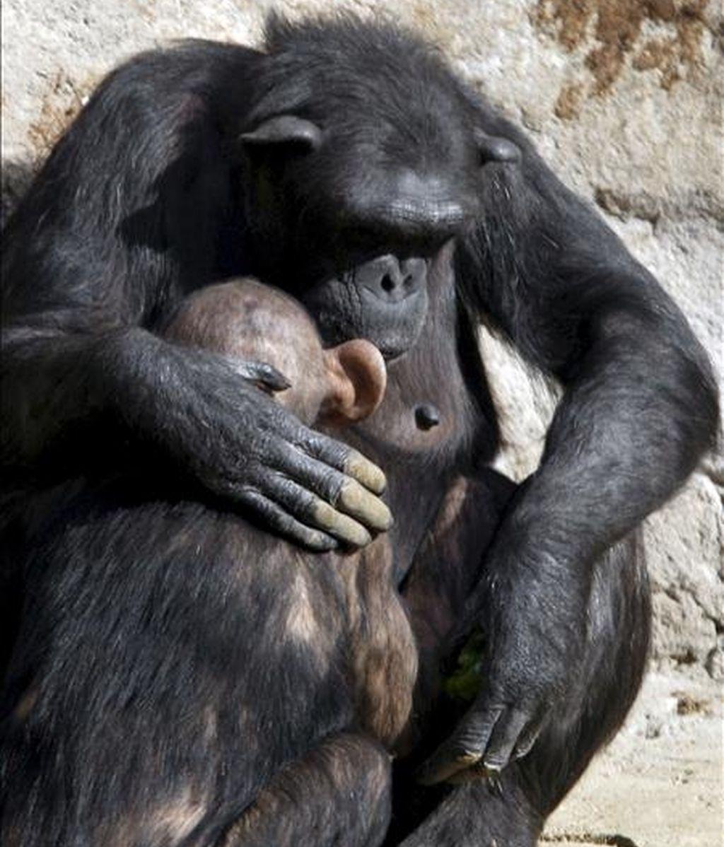 Chimpancés en el Zoo de Barcelona. EFE