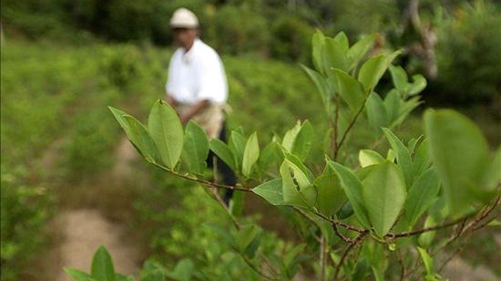 El cultivo de hoja de coca es legal en determinados territorios de Bolivia, donde tiene usos terapéuticos y ancestrales. EFE/Archivo