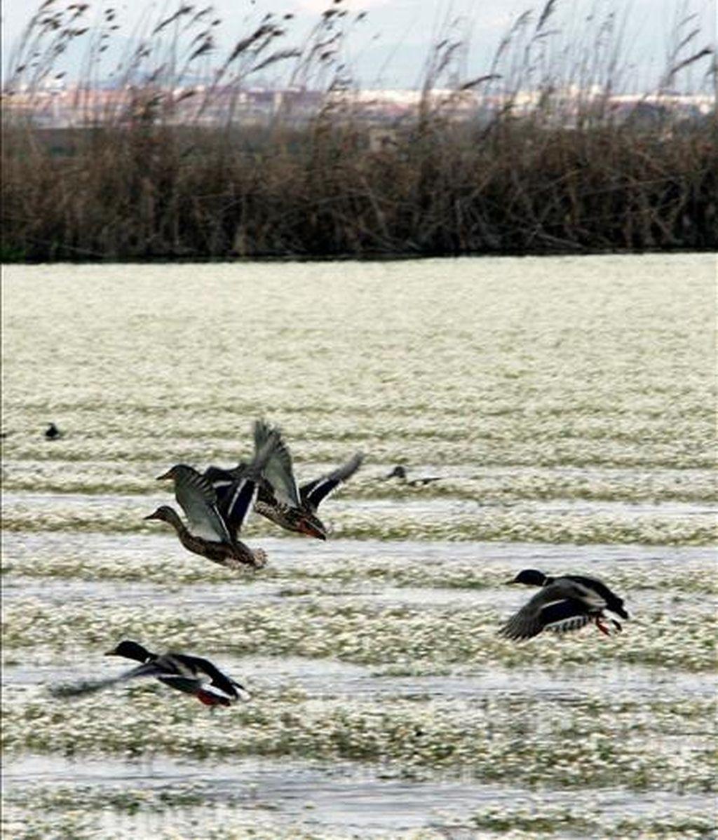 Aves en la albufera de Valencia, uno de los humedales más grandes de la península Ibérica. EFE