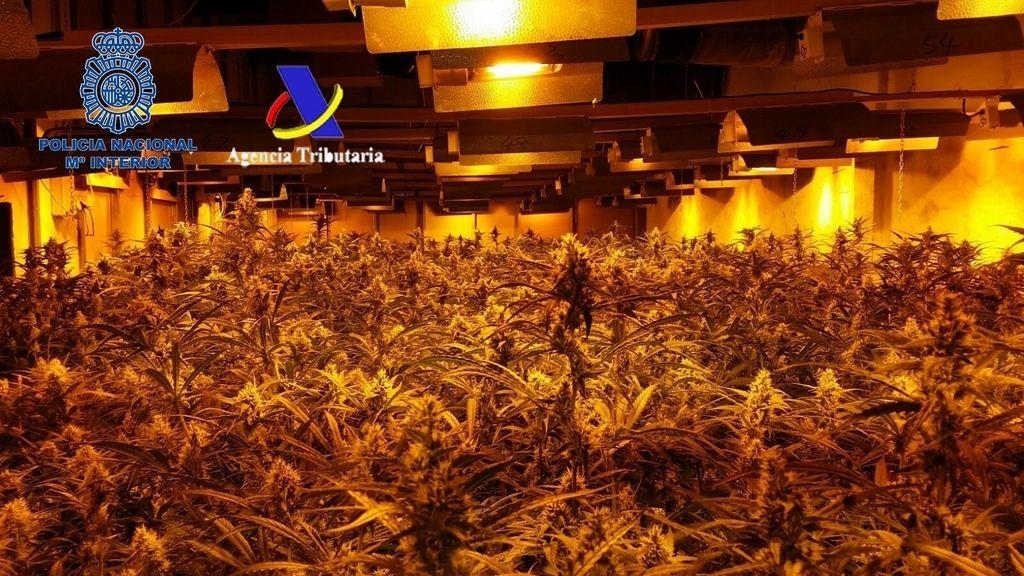 Intervienen 17.000 plantas de marihuana y arrestan a 12 personas en Madrid