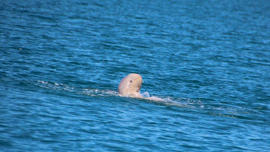 Ejemplar de delfín beluga de Heinsohn