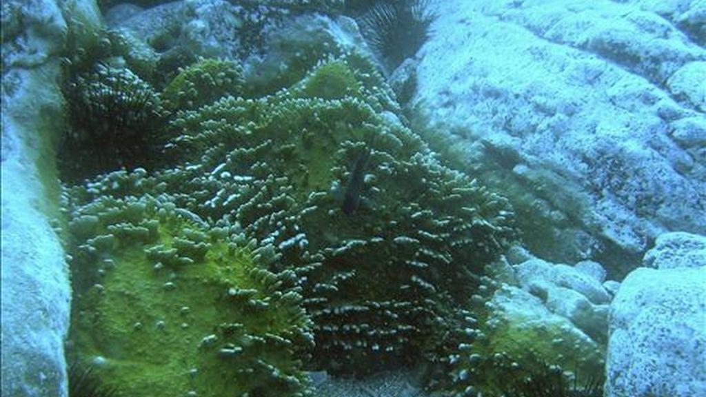 Fotografía del coral tropical cedida por el equipo de científicos que lo ha descubierto en aguas de la costa de Tenerife. EFE