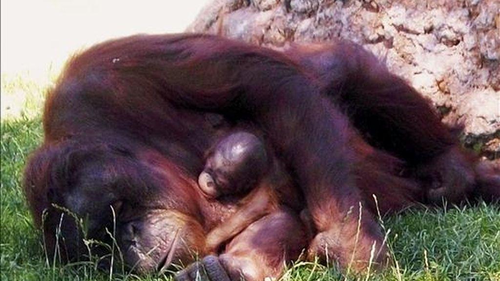 El Zoo Aquarium de Madrid ha sido escenario, por primera vez en su historia, del nacimiento de una cría de orangután de Borneo, que se encuentra en buen estado junto a su madre y demás miembros de su especie. EFE