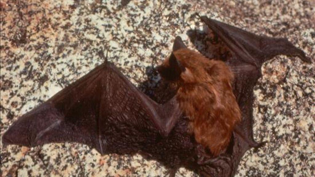 Los murciélagos responsables de las mordidas son de la especie hematófaga: se alimentan de sangre con ataques que no son sentidos por sus víctimas. EFE/Archivo