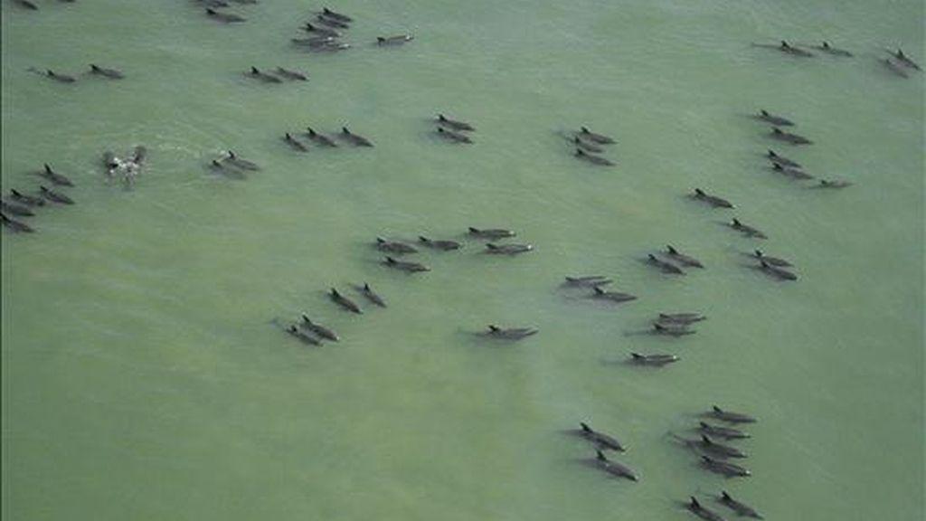Unos 200 cetáceos fueron salvados de una muerte segura después de quedarse varados en la bahía de Manila. Vídeo ATLAS