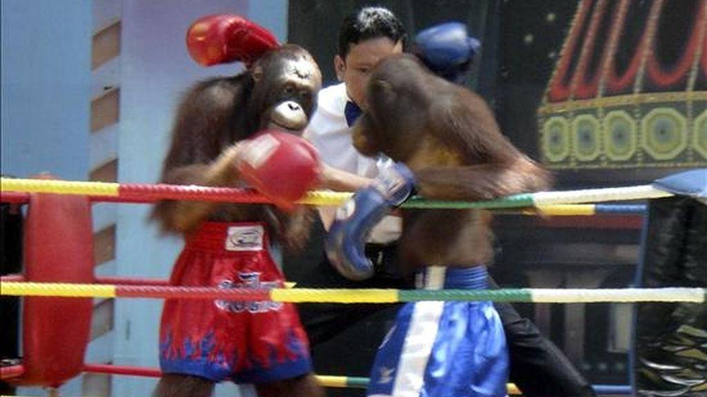 Prohibidos en su día por las denuncias de torturas de los conservacionistas, los orangutanes que protagonizan un espectáculo de boxeo tailandés se han convertido de nuevo en una de las mayores atracciones de un parque temático de Bangkok. EFE