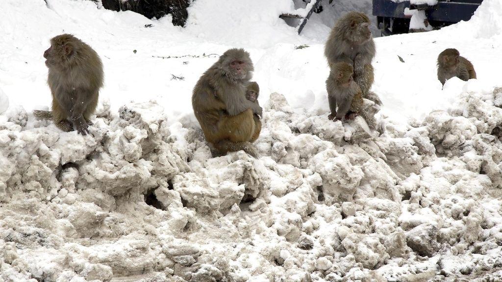 Monos bajo cero